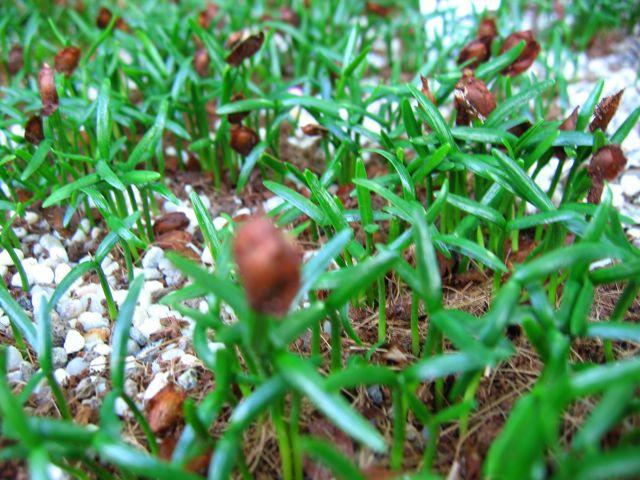 Sciadopitys zaailingen © Ruthojo Ericaceae & Sciads