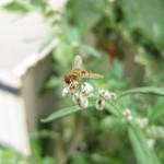 2014-05-23 Zweefvlieg op Artemisiabloem