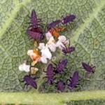 larven lieveheersbeestje