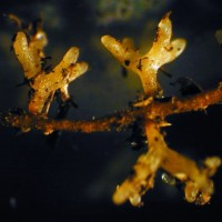 Mycorrhiza auf Pinie 5 red