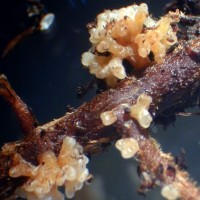 Mycorrhiza auf Pinie 7 red
