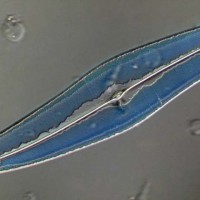 Pleurosigma angulatum 250x