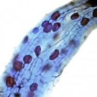 Servaplant© Endomyc vesikels hyphen wortel appelboom