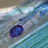 Servaplant© endomyc vesikel c