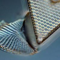 Triceratium:Surirella 500xDIC